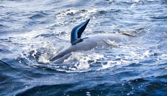 australia-ballenas-salvadas